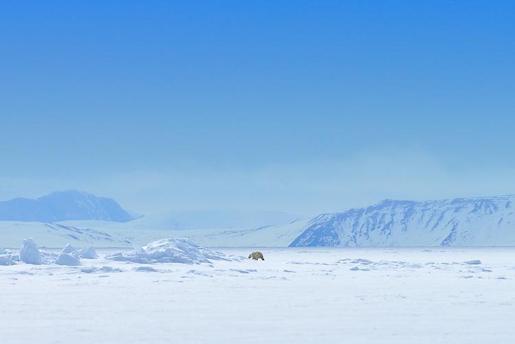 Polar Bear Arctic Canada Nunavut