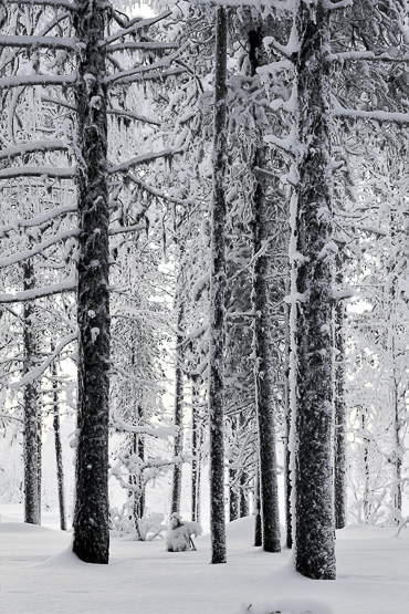 trees in Lapland