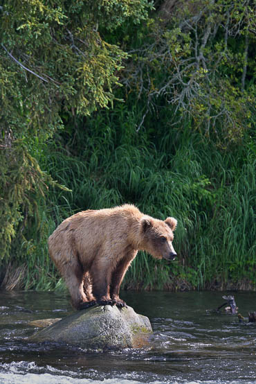 Grizzly bear at the river.