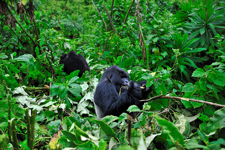 Volcanoes National Park Rwanda, Mountain Gorilla
