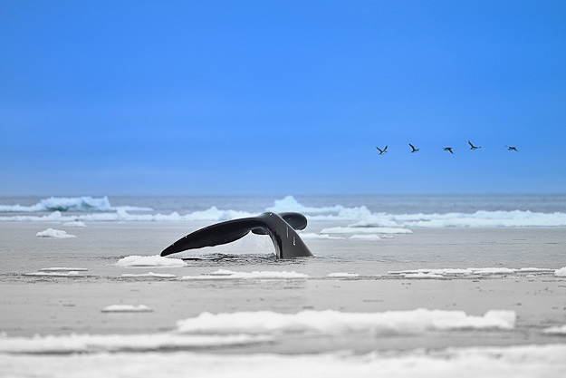 Bowhead Whale Nunavut Arctic Canada