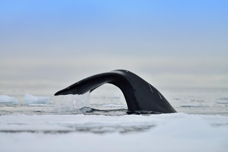 Bowhead Whale Nunavut Arctic Kingdom
